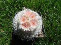 Epithelantha micromeris subsp. pachyrhiza.JPG