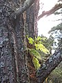 Epithytic fern, Abernethy Forest - geograph.org.uk - 612801.jpg