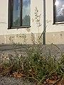 Eragrostis minor sl2.jpg