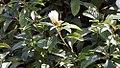 Eranthemum nigrum 11zz.jpg