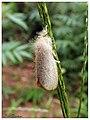 Erebidae (Lymantriinae) (15264508003).jpg