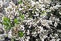 Erica canaliculata Rosea 1zz.jpg