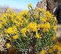 Ericameria laricifolia 5.jpg