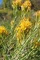 Ericameria nauseosa kz06.jpg