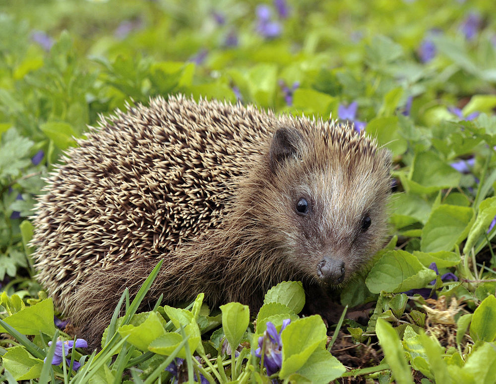 The average litter size of a European hedgehog is 4