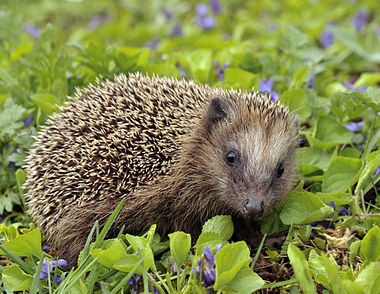 European hedgehog