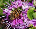 Eristalinus October 2007-3.jpg
