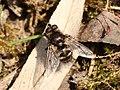 Ernestia puparum1.jpg