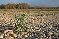 Eryngium maritimum, Vic-la-Gardiole 02.jpg