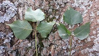 Erythrina caffra - Erythrina caffra leaves