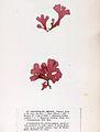 Erythroglossum laciniatum Crouan.jpg