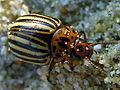 Escaravello051eue.jpg