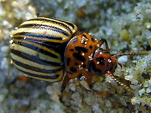 Entomological warfare - The Colorado potato beetle was considered as an EW weapon by nations on both sides of WWII