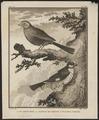 Estrilda granatina - 1700-1880 - Print - Iconographia Zoologica - Special Collections University of Amsterdam - UBA01 IZ15900209.tif