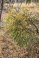 Eucalyptus leptophylla (31792366394).jpg