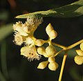 Eucalyptus microtheca flowers.jpg