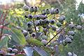 Eucalyptus wildfire seeds.jpg