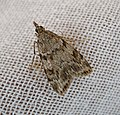 Eudonia lineola? (14811719336).jpg
