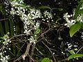 Eugenia uniflora - floroj.JPG