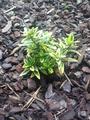 Euonymus japonicus Aureomarginatus small.png