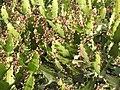 Euphorbia antiquorum-3-ghat road-yercaud-salem-India.jpg