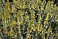 Euphorbia cooperi - Oasis Park.jpg