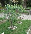 Euphorbia dendroides - Pisa.JPG