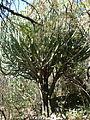 Euphorbia ingens, Wonderboom NR.jpg