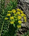 Euphorbia nicaeensis 2.jpg