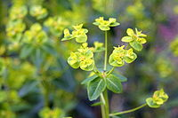 Euphorbia pekinensis 4