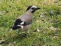 Eurasian Jay 01.jpg
