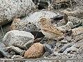 Eurasian Skylark (Alauda arvensis) (46904443505).jpg