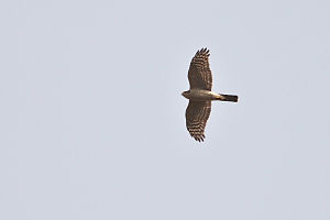 Kanwar Lake Bird Sanctuary - Image: Eurasian Sparrowhawk at Kanwar Lake