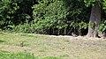 European Rabbit Oryctolagus cuniculus Woodland Trust wood Theydon Bois Essex England 01.JPG