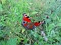 European peacock butterfly.jpg