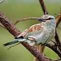European roller, Coracias garrulus at Kruger National Park. (43935454220).jpg
