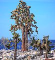 Excursion to a lagoon on the N side of Isla Santa Fe - cactus trees (16492481528).jpg