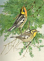 FMIB 41893 Blackburnian Warbler Upper figure male Lower figure female.jpeg