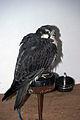 Falcon (3263215617).jpg