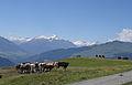 Falera Cows 1.JPG