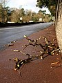 Fallen branches, Newton Road, Torquay - geograph.org.uk - 1130429.jpg