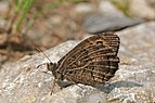False grayling (Arethusana arethusa) Hungary.jpg