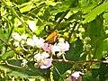 Farfalla (Crespino) 2.jpg