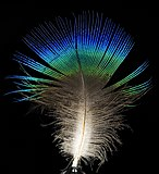 Feather of male Pavo cristatus (Indian peafowl).jpg