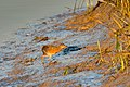 Federally endangered Light-footed clapper rail (adult) creeping to the cord grass (6796495969).jpg