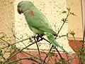Female Alexandrine Parakeet 3.jpg