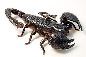 Emperor scorpion - Image: Female Emperor Scorpion