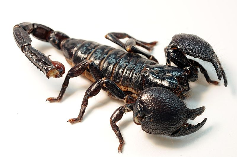 File:Female Emperor Scorpion.jpg