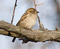 Female House Sparrow New Castle, Delaware.jpg