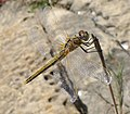 Female Red-veined Darter. Sympetrum fonscolombii - Flickr - gailhampshire.jpg